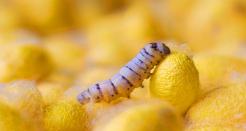 Chrysalis and yellow cocoons